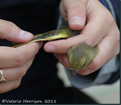 greenfinch-checking-wing