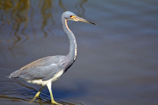 South Padre Great Blue Heron