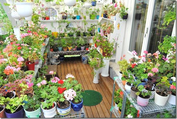 Pelargoner på veranda ute 002