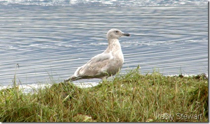 Young Glaucous Wing Gull