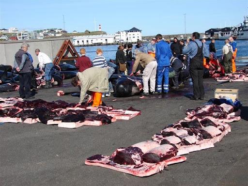 whale hunting 9%25255B4%25255D Tradisi Pembantaian Paus Secara Massal di Gulfstream