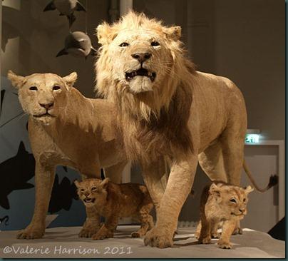 19-lions