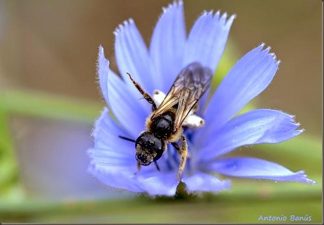 10 En la flor de la achicoria _DSC0437x1