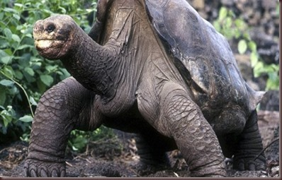 Amazing Animals Pictures Pinta Island tortoise (11)