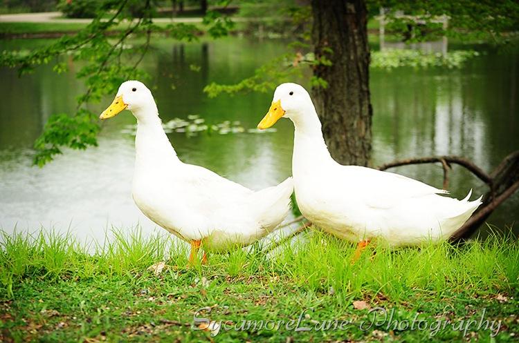 ducks-w