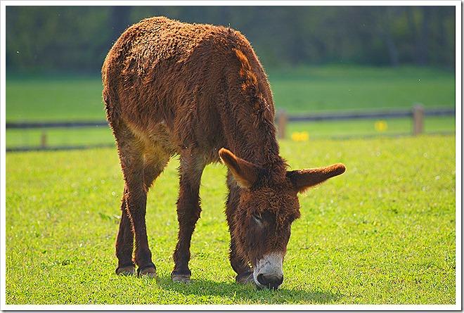mule-public-domain-picture (2)