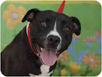 Star  from Staten Island, New York, is a black lab mix like Margo.