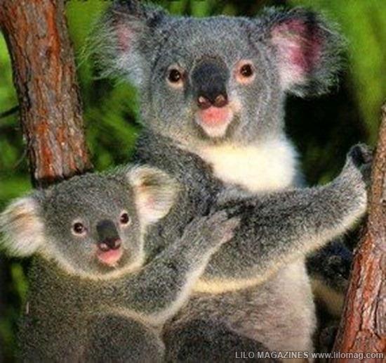 Koala Bear 01
