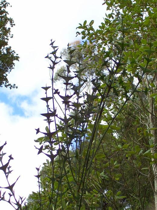 Crucifix Plan t- Crucifixion Plant - Anchor Plant