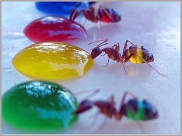 coloured-ants3