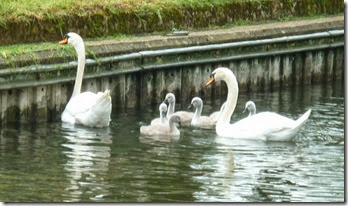 cygnets at Tyle Mill