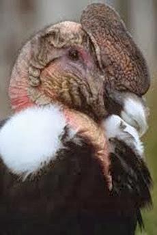 Amazing Pictures of Animals, Photo, Nature, Incredibel, Funny, Zoo, Andean Condor, Vultur gryphus, bird, Alex (19)