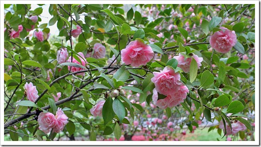 120317_Capitol_Park_Camellia-japonica_45