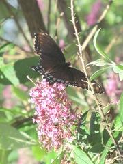 butterfly bush pink w butterfly2. 8.10.13