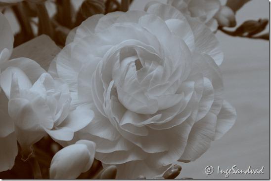 Hvid blomst - duotone