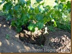 Технология выращивания винограда в северных регионах 1