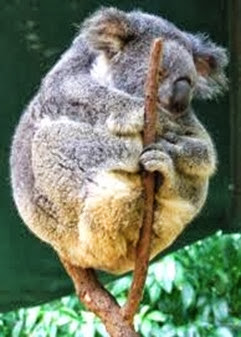 Amazing Pictures of Animals, Photo, Nature, Incredibel, Funny, Zoo, Koala, Phascolarctos cinereus, Alex (17)