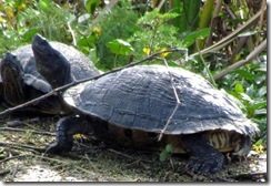 Close up of old turtles