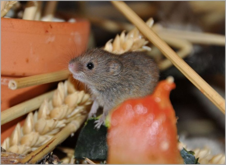 Baby Harvest Mouse on fruit - Copy
