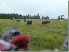 FR cows
