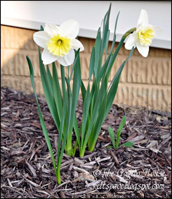 Liliacs, daffodills, cyclamen 013