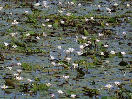 Flori Sri Lanka: nuferi, florile lui Buda