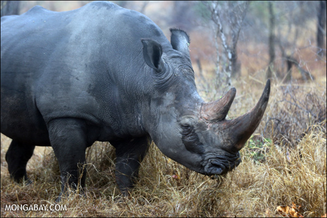 White rhino in South Africa. By the end of Frbruary 2014, South Africa has lost 146 rhinos to poachers, or approximately 2.5 rhinos every day. Photo: Rhett A. Butler