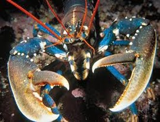 Amazing Pictures of Animals, photo, Nature, exotic, funny, incredibel, Zoo, Homarus gammarus, European lobster or common lobster, Alex (6)