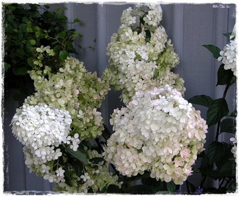 15 hortensia
