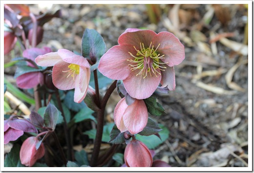 130310_Helleborus-Pink-Frost_03