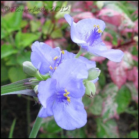 06-24-spiderwort