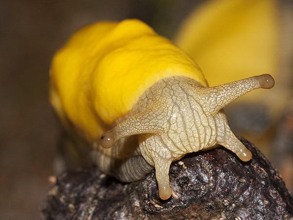 banana slug Ariolimax columbianus 3
