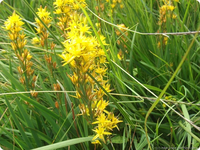 bog asphodel near high force