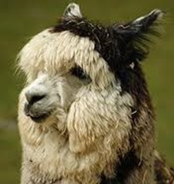 Amazing Pictures of Animals, photo, Nature exotic, funny, incredibel, Zoo, Vicugna pacos, Alpaca, Alex (21)