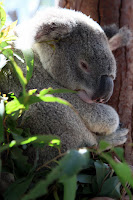 Arthur the koala