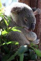 Arthur the koala