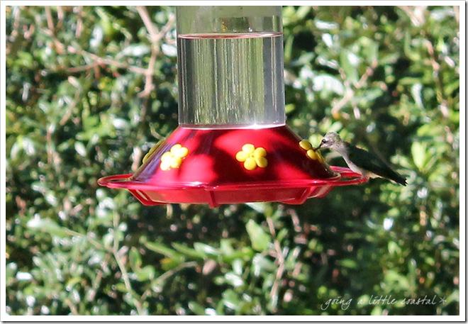hummingbird copy