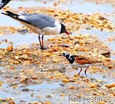 2. gull n turnstone-kab