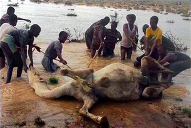 Somalis rescue a camel after catastrophic floods hit the village of Sin Ujiif in Somalia's Puntland region on 13 November 2013. Photo: Stringer / AFP