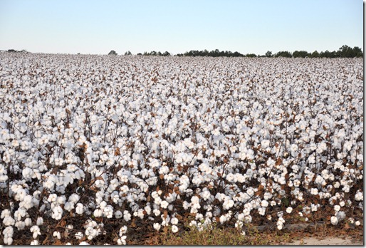 new farm cotton 2012 (50)
