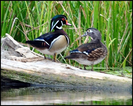 08 - Animals - Wood Duck Male and Female2