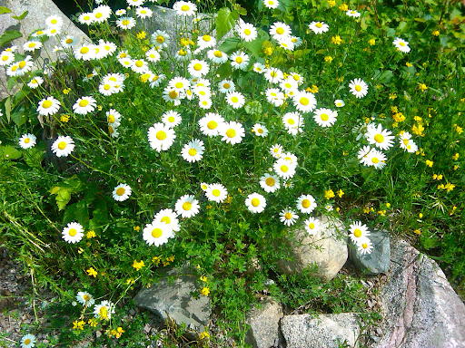 Daisies and trefoil mingling alongside the driveway.