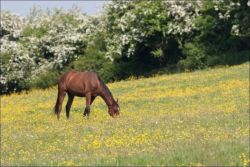 Horse in field of buttercups