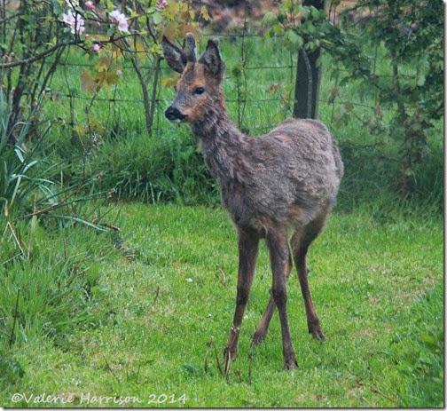 5 Roe-Deer
