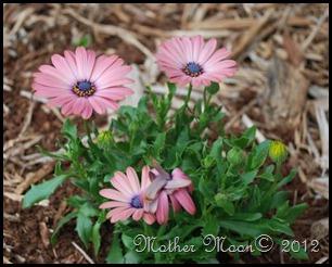 daisy pink 2012