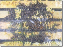 21,1,2012 včelky zimovaní 030