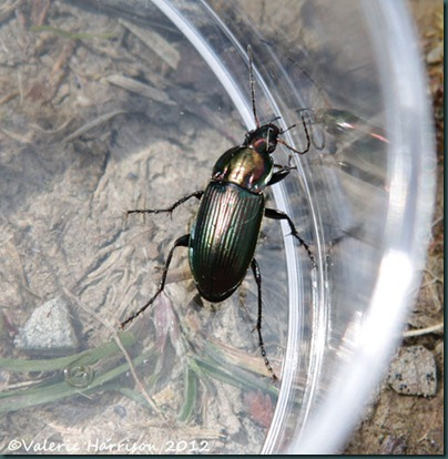 31-beetle