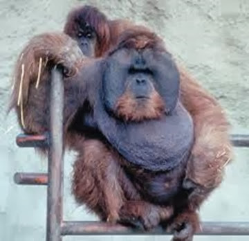 Amazing Pictures of Animals, Photo, Nature, Incredibel, Funny, Zoo, Bornean orangutan,Pongo pygmaeus, Primates, Alex (21)