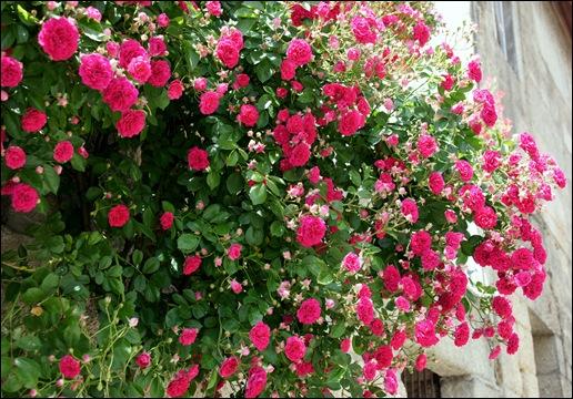 Marialva - Glória Ishizaka -  rosa trepadeira 1