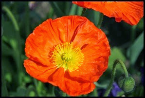 W-poppy_edited-1_thumb2